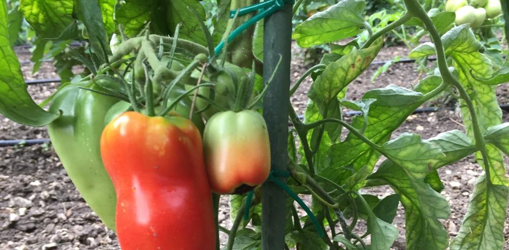 Lecsó - kis kertünk roppanó zöldségeiből